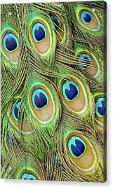 Living Peacock Abstract Acrylic Print