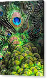 Peacock Brilliance Acrylic Print by Emilia Brasier