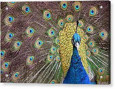 Peacock Display II Acrylic Print
