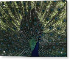Peacock Eyes Acrylic Print by Michelle Miron-Rebbe
