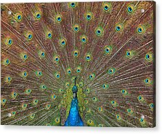 Peacock Fanfare Acrylic Print by Diane Alexander