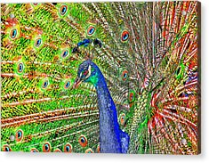 Peacock Fanned Tail Feathers Acrylic Print by Tracie Kaska