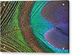Peacock Feather Close Up Acrylic Print