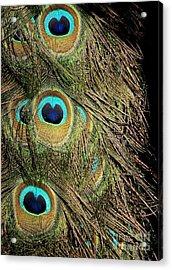 Peacock Feathers Acrylic Print by Sabrina L Ryan