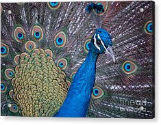 Acrylic Print featuring the photograph Peacock by Frank Stallone