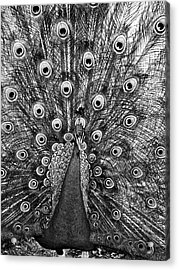 Peacock In Black And White Acrylic Print by Steven Ralser