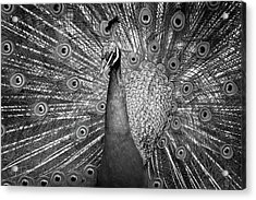 Peacock In Black And White Acrylic Print