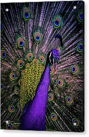 Peacock In Purple Acrylic Print