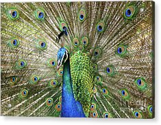 Peacock Indian Blue Acrylic Print by Sharon Mau