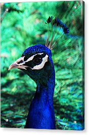 Peacock Acrylic Print by Joseph Frank Baraba