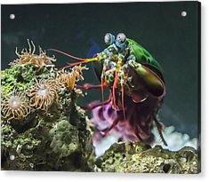 Peacock Mantis Shrimp Profile Acrylic Print
