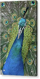 Acrylic Print featuring the photograph Peacock by Matthew Bamberg