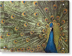 Peacock Acrylic Print by Michael Hudson