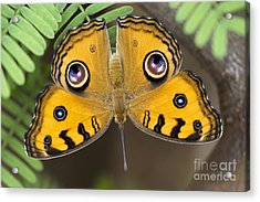 Peacock Pansy Butterfly Acrylic Print by Tim Gainey
