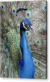 Peacock Portrait Acrylic Print by Bob Slitzan