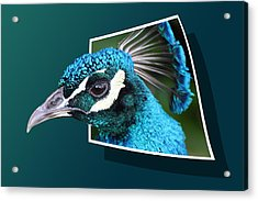 Peacock Acrylic Print by Shane Bechler