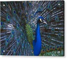 Acrylic Print featuring the photograph Peacock Splendor by Marie Hicks