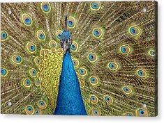 Peacock Splendor Acrylic Print