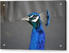 Peacock Stare Down Acrylic Print