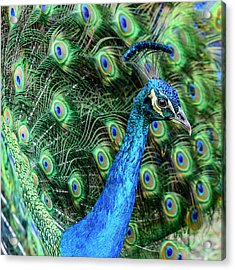Acrylic Print featuring the photograph Peacock by Steven Sparks