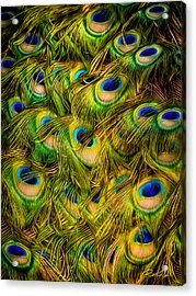 Peacock Tails Acrylic Print
