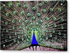 Peacock Acrylic Print by Vivian Krug Cotton