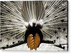 Peacock's Behind Acrylic Print