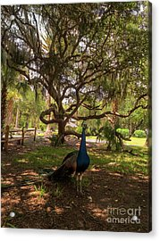 Peafowl In The Park Acrylic Print by Zina Stromberg