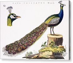 Peafowl Acrylic Print