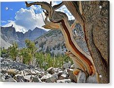 Peak Bristlecone Pine Acrylic Print