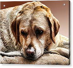 Peanut After A Swim Acrylic Print by Norma Rowley