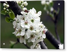 Acrylic Print featuring the photograph Pear Blossoms In Spring by Sheila Brown