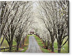 Acrylic Print featuring the photograph Pear Tree Lane by Benanne Stiens