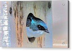 Peek-a-blue Acrylic Print