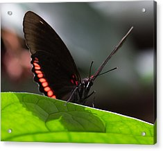 Peek-a-boo 8x10 Acrylic Print