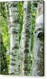 Peek A Boo Birch Acrylic Print by Greg Fortier
