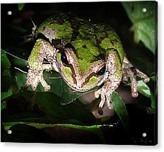 Peek A Boo Pacific Tree Frog Acrylic Print by Nick Gustafson