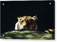Acrylic Print featuring the photograph Peek-a-boo Tiger by Angela DeFrias