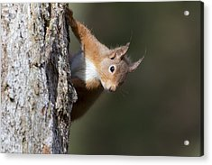 Peekaboo - Red Squirrel #29 Acrylic Print