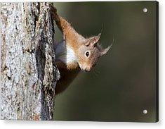 Peekaboo - Red Squirrel #29 Acrylic Print