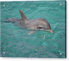 Peeking Dolphin Acrylic Print