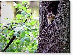 Peeking Eastern Chipmunk Acrylic Print
