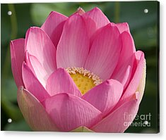 Peeking Lotus Acrylic Print by Elvira Butler
