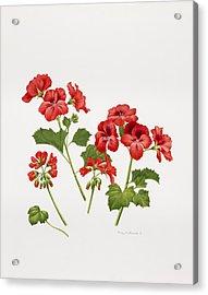 Pelargonium Geranium Acrylic Print by Sally Crosthwaite