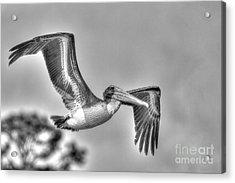 Pelican-4443 Bnw Acrylic Print