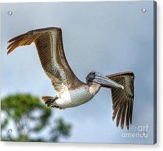 Pelican-4443 Acrylic Print
