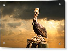 Pelican After A Storm Acrylic Print by Mal Bray