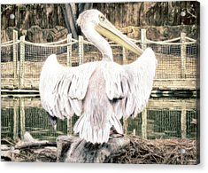 Acrylic Print featuring the photograph Pelican by Alison Frank