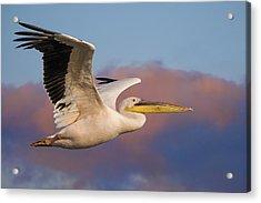 Pelican Acrylic Print by Basie Van Zyl