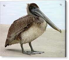 Pelican Close-up Acrylic Print by Al Powell Photography USA